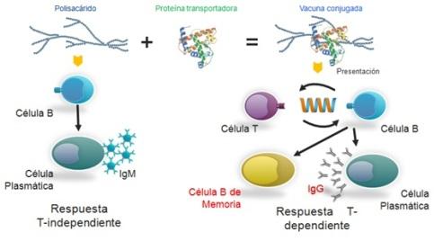 Figura 1 Evolución en el desarrollo de vacunas polisacaridass versus polisacaridas conjugadas